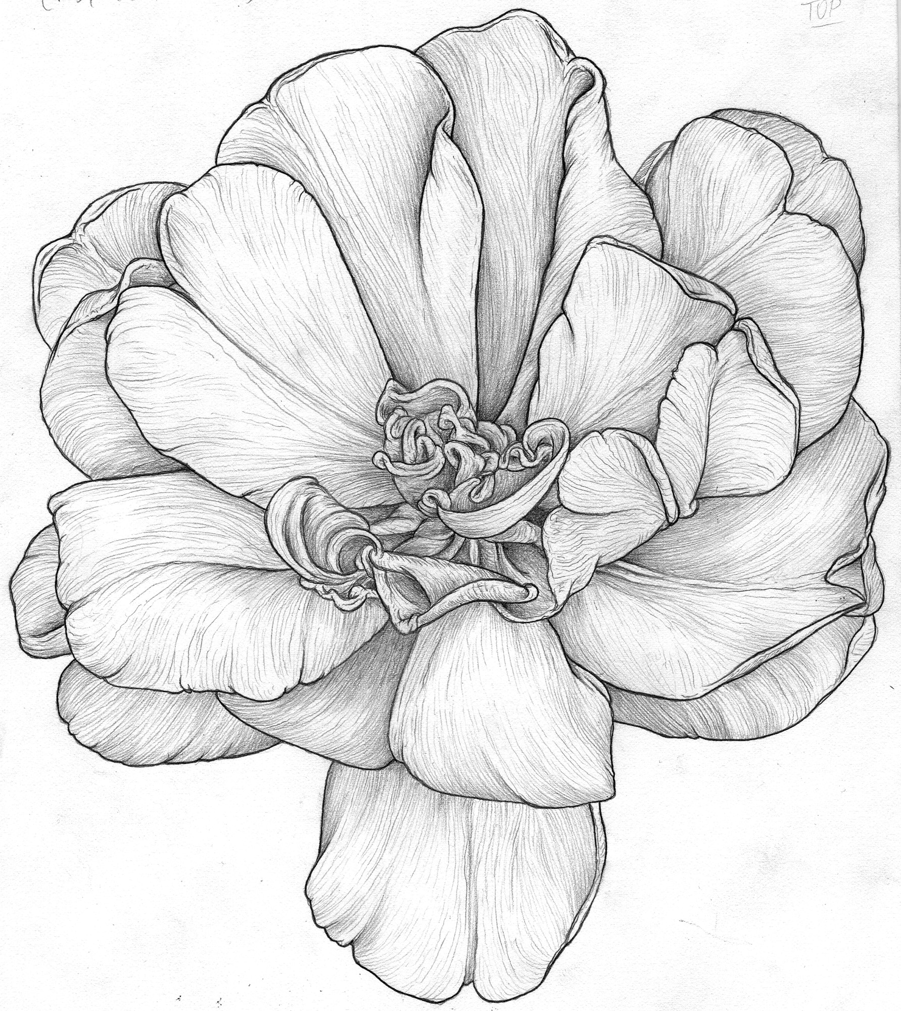 graphite sketch flower 2 web.jpg