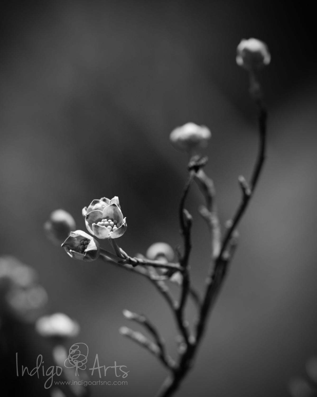 dogwood bloom nc
