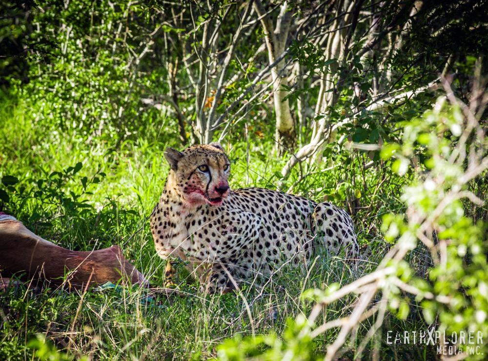 Beautiful Cheetah.jpg