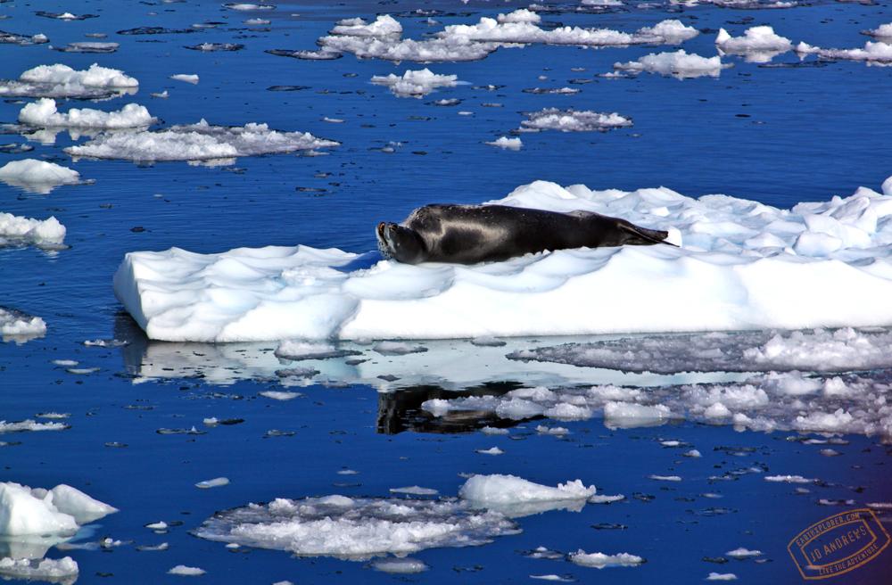leopard_seal.jpg