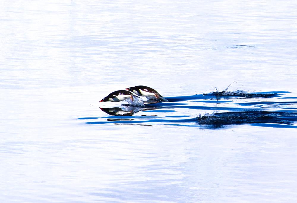 Penguin Race in Antarctica