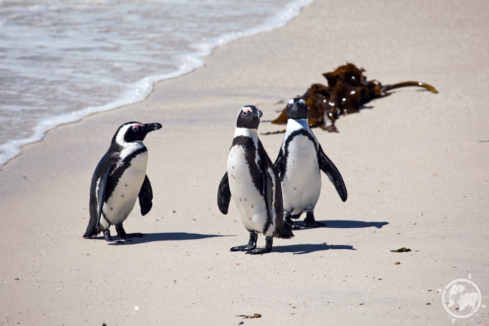 African penguins.jpg