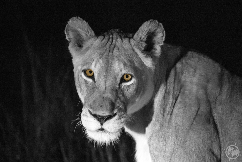 lioness_South_Africa.jpg