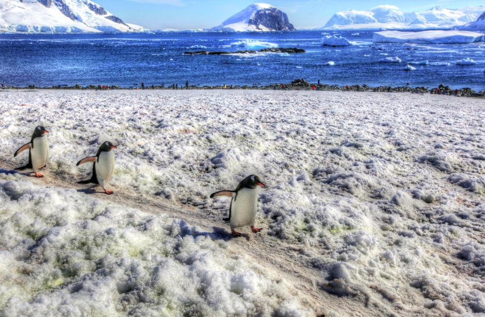 Three Cute Penguins Waddle By on Danko Island, Antarctica