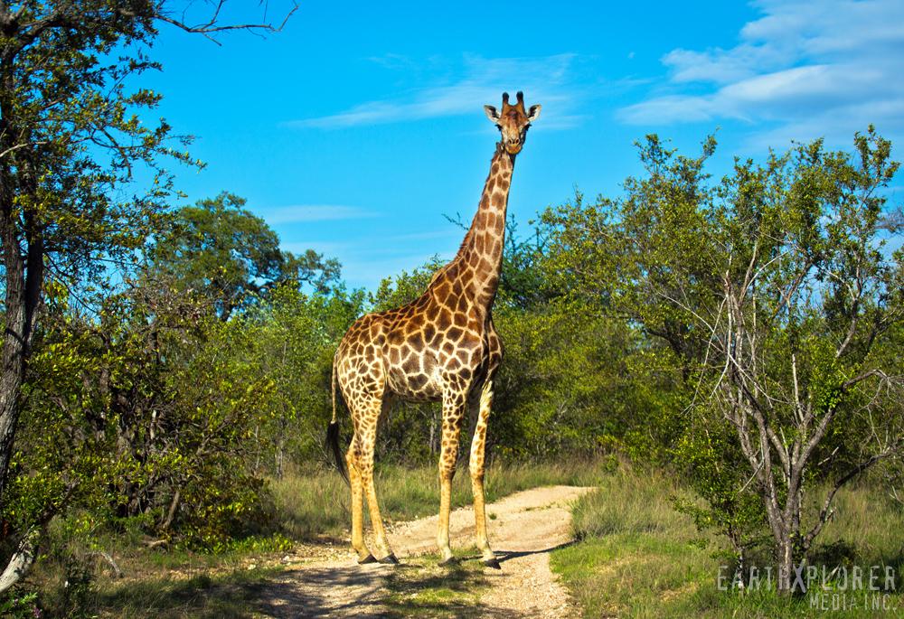 Gorgeous Giraffe South Africa.jpg