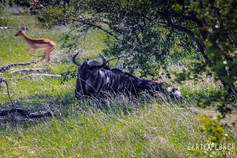 wildebeest South Africa.jpg