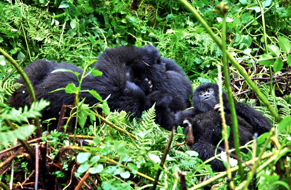 Gorillas Playing