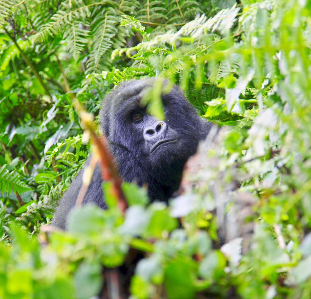 Gorilla Stare.