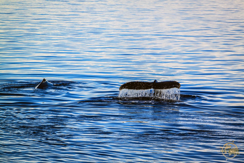 Whales in Antarctica by JD Andrews.jpg
