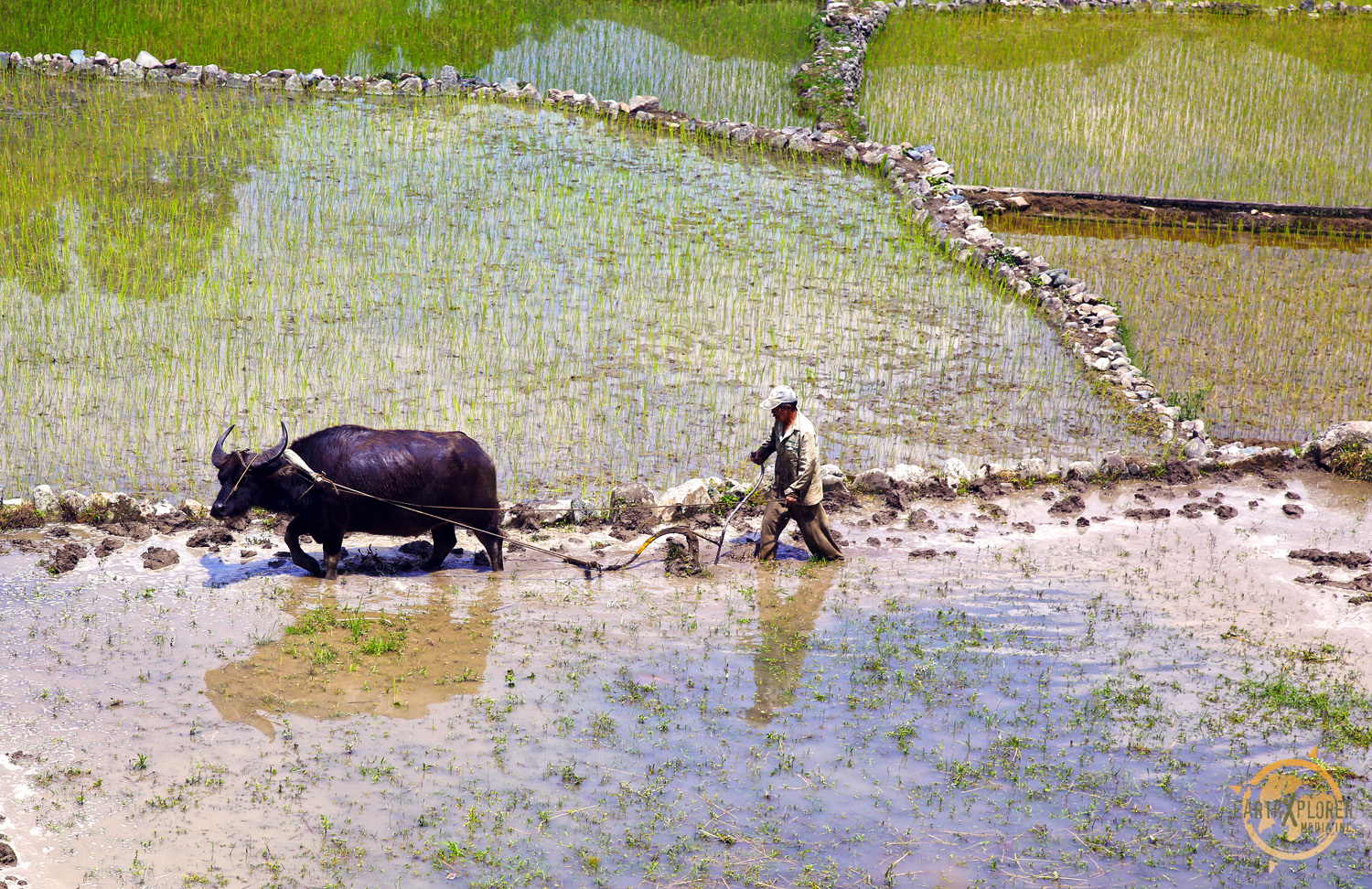 The carabao is a swamp type domestic water buffalo.