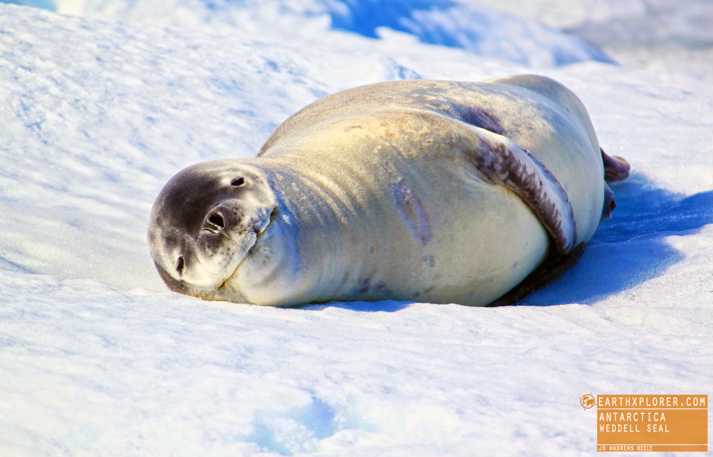 The Weddell seal was discovered and named in the 1820s during expeditions led by James Weddell, the British sealing captain, to the parts of the Southern Ocean now known as the Weddell Sea