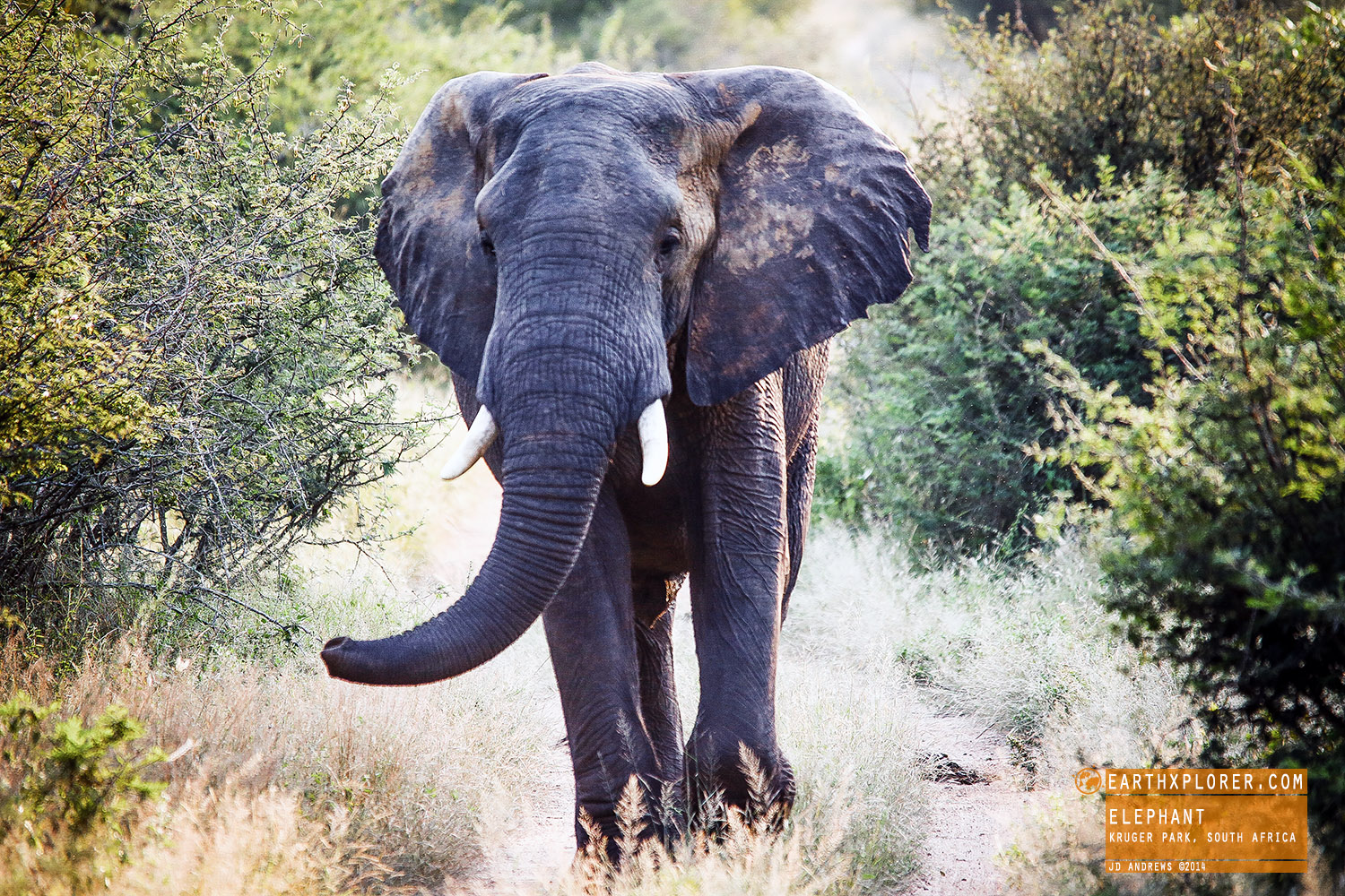 Beautiful African Elephant