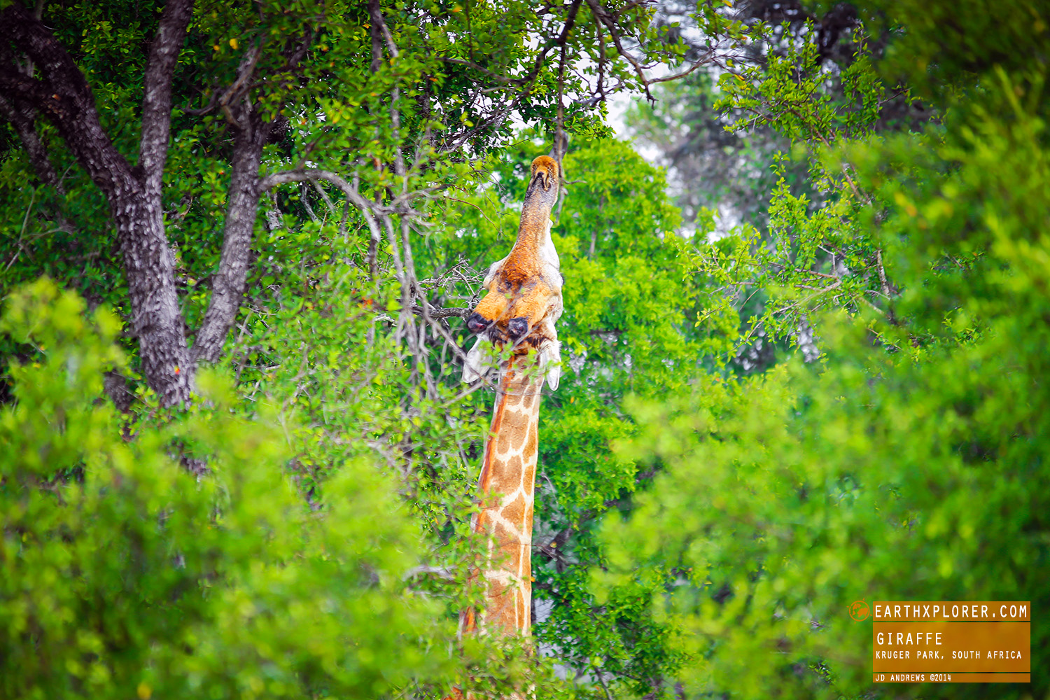 Giraffes are the world's tallest mammals.