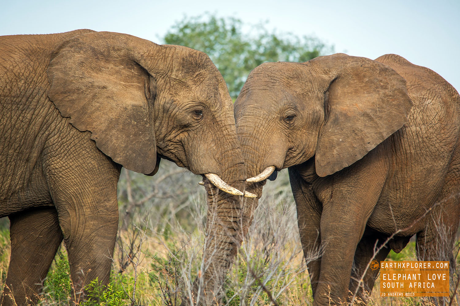 African elephants are the largest land animals on Earth