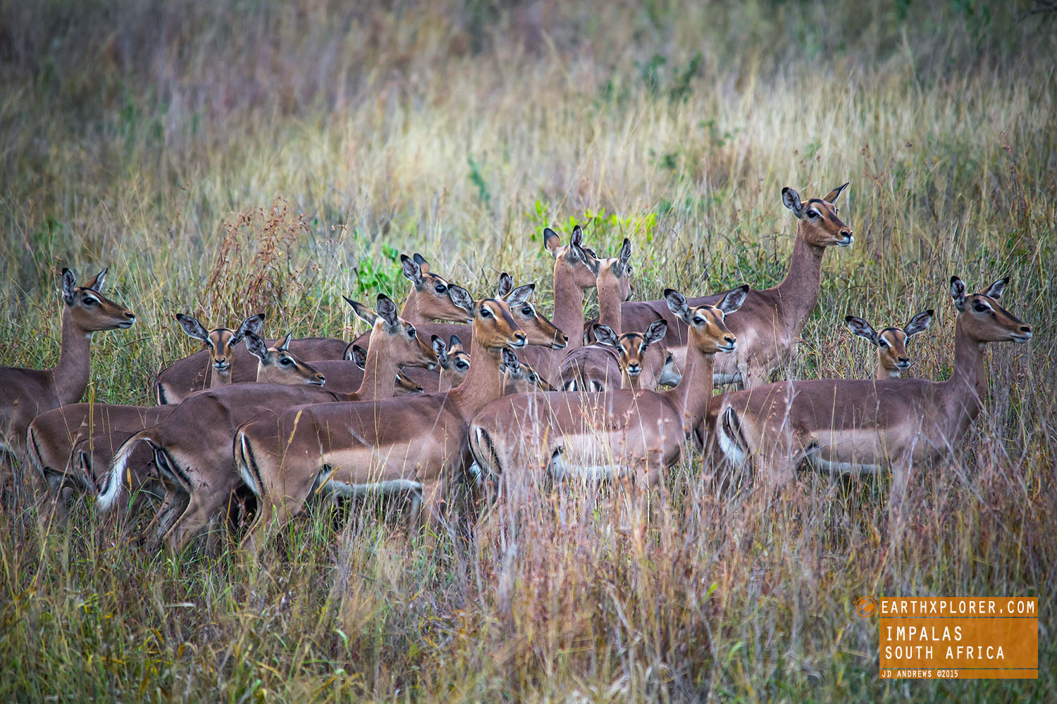 The name 'Impala' come from the Zulu language meaning 'gazelle'