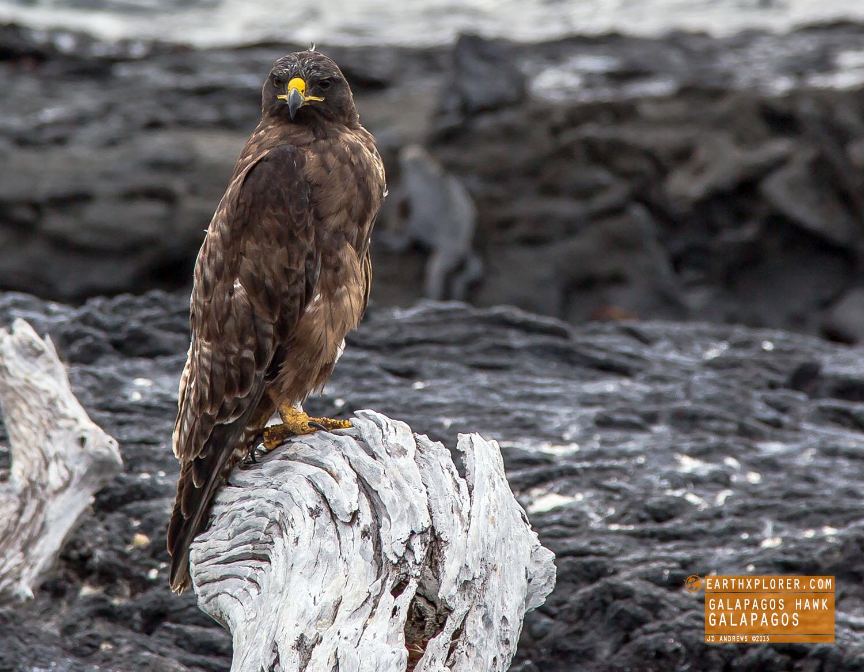Galapagos Hawk.jpg