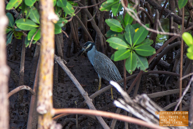 Heron Anne Kolb Nature Center Hollywood Florida.jpg