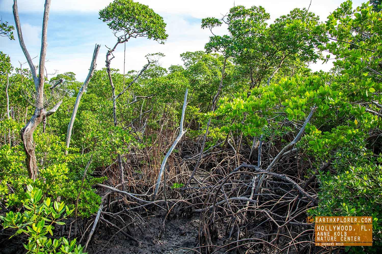 Mangrove Anne Kolb Nature Center Hollywood Florida.jpg