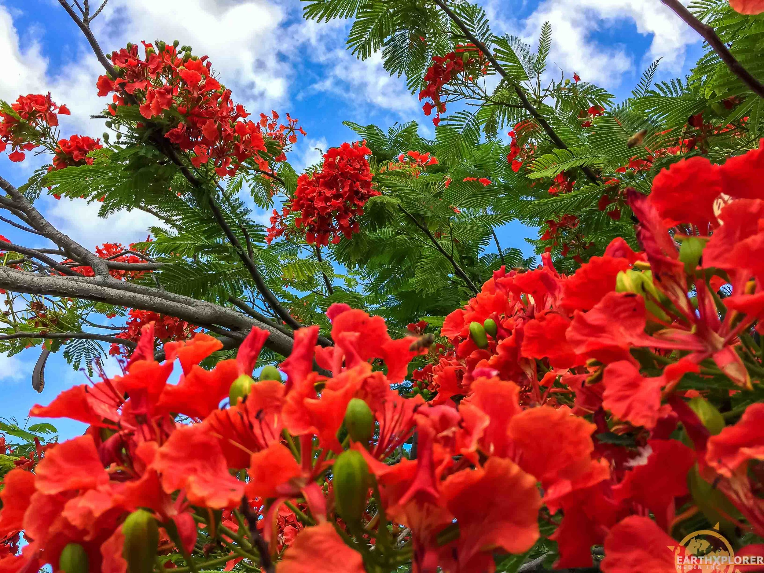 Nevis Flowers earthXplorer.jpg