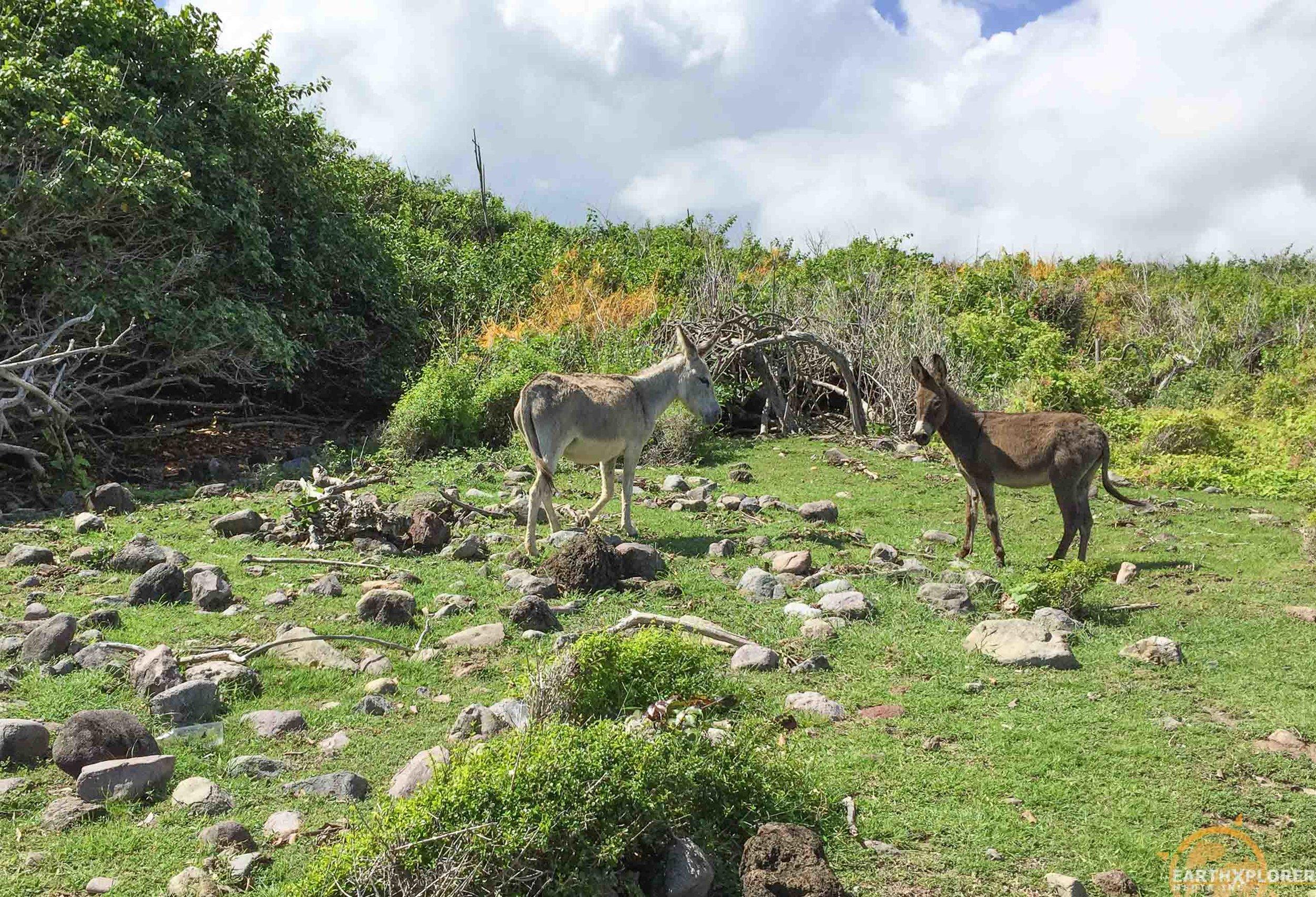 Nevis Donkeys earthXplorer.jpg