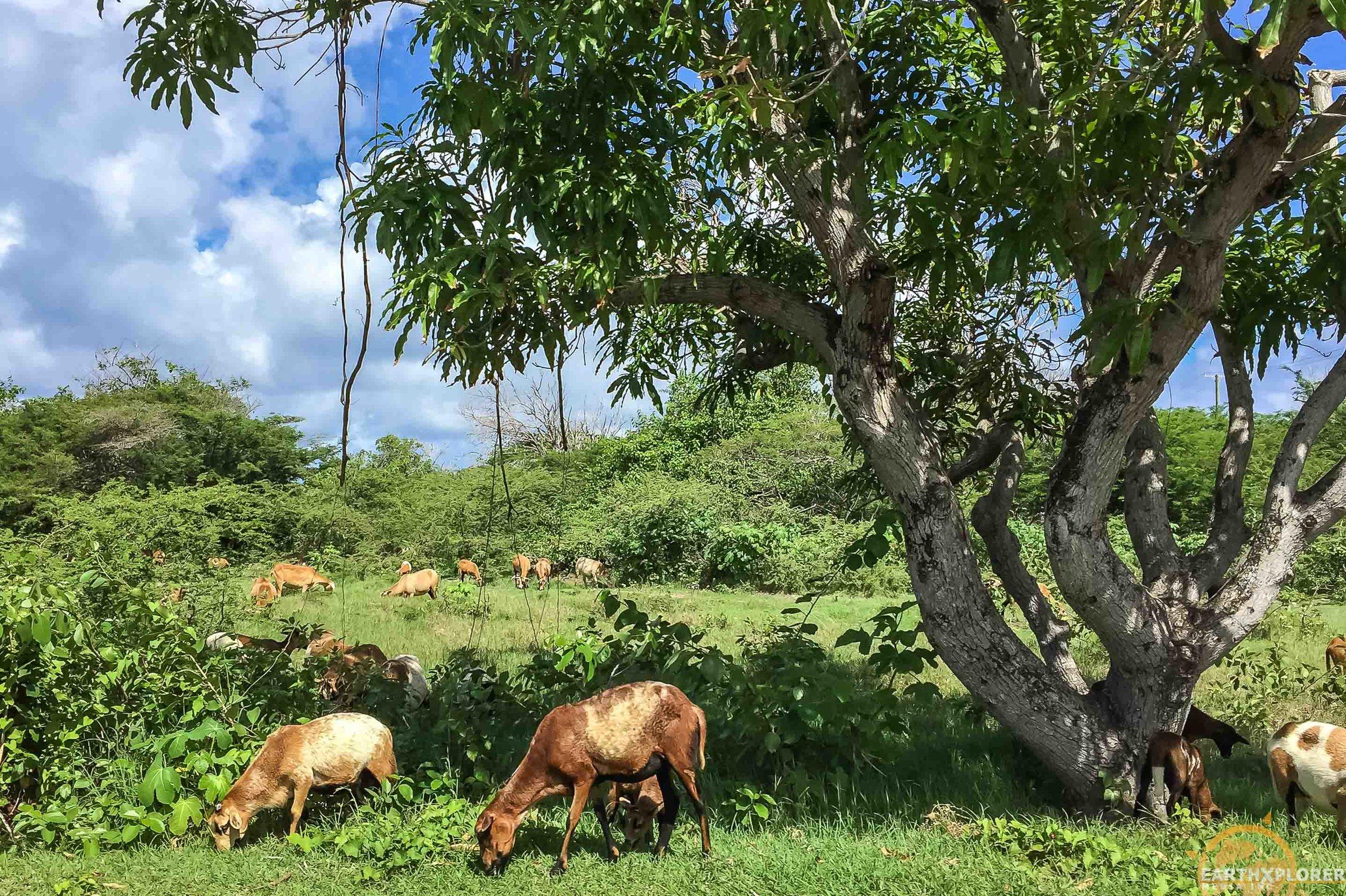 Nevis Goats earthXplorer.jpg