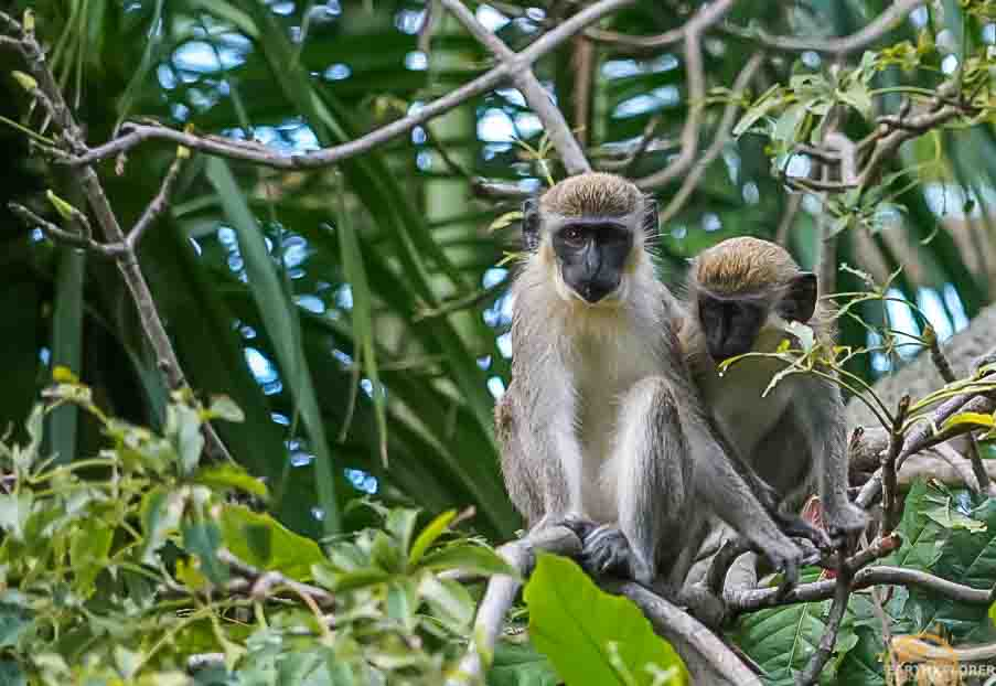 Nevis Monkeys earthXplorer.jpg