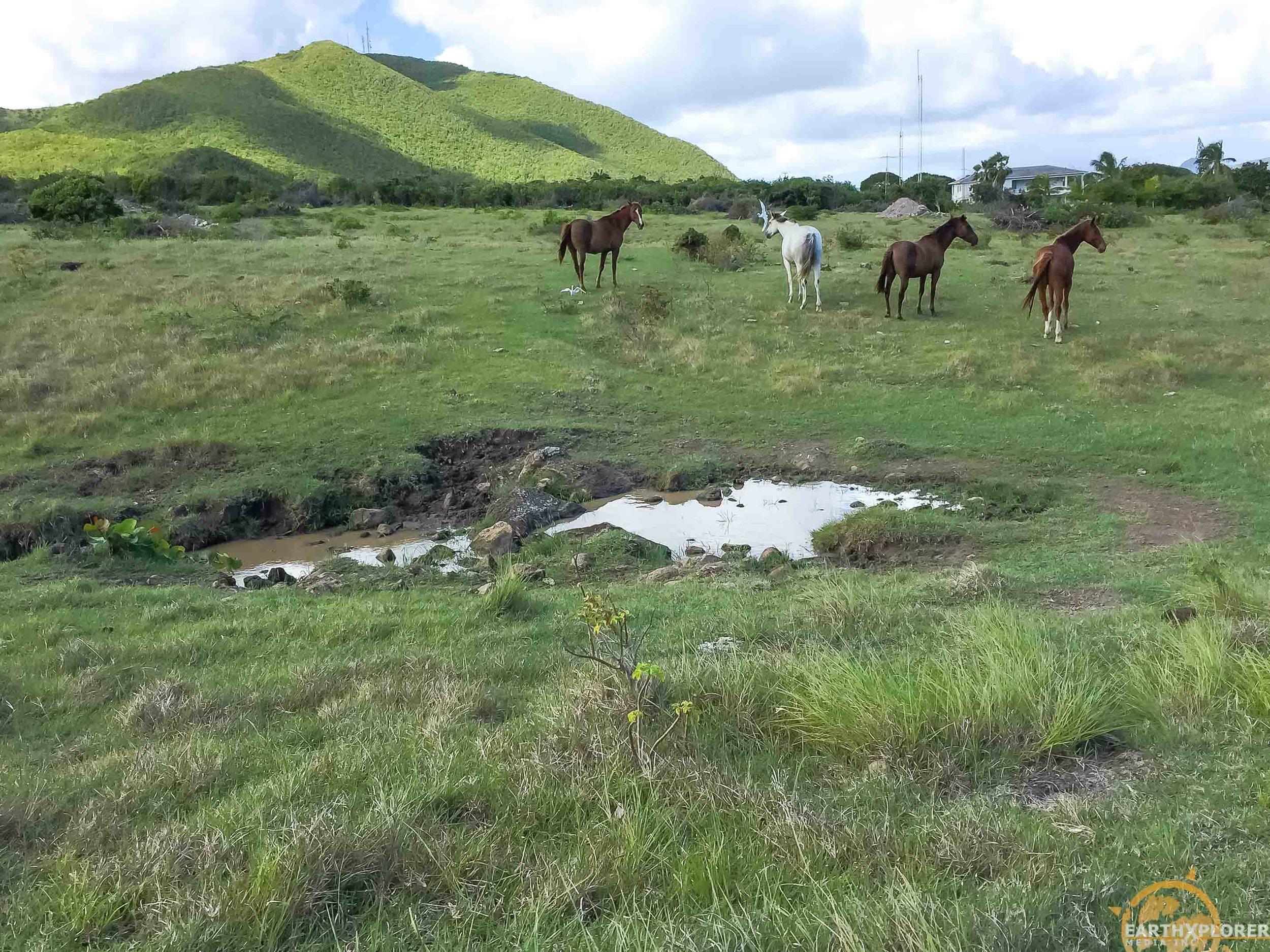 Nevis horses earthXplorer.jpg