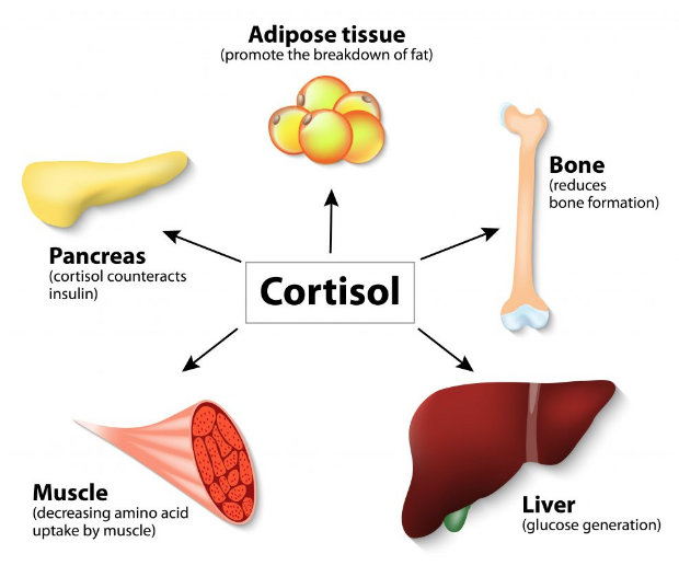 cortisol effects.png