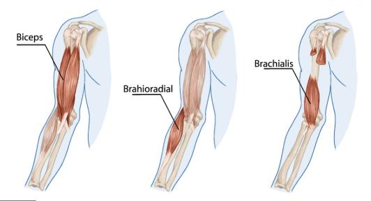 Brachii 3.png