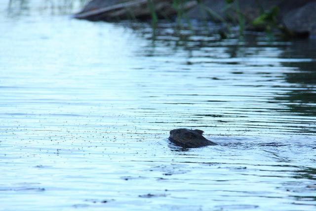 Beaver on Mink Lake