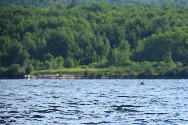 It's a moose in the middle of Little Cauchon Lake!