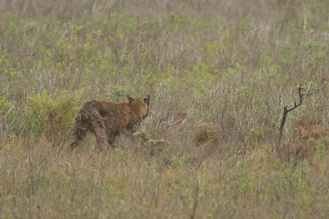 Bobcat, Laguna Atascosa National Wildlife Refuge, Texas, Canon 7D with Canon EF 500mm, 1/2000s @ f/8, ISO 1600