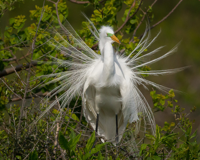Great Egret, Rookery at Smith Oaks, High Island, Texas, Canon 7D with Canon EF 500mm, 1/8000s @ f/8, ISO 1600