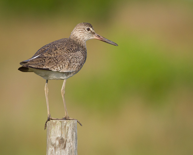 Willet, Bolivar Peninsula, Texas, Canon 7D with Canon EF 500mm, 1/3200s @ f/8, ISO 1600