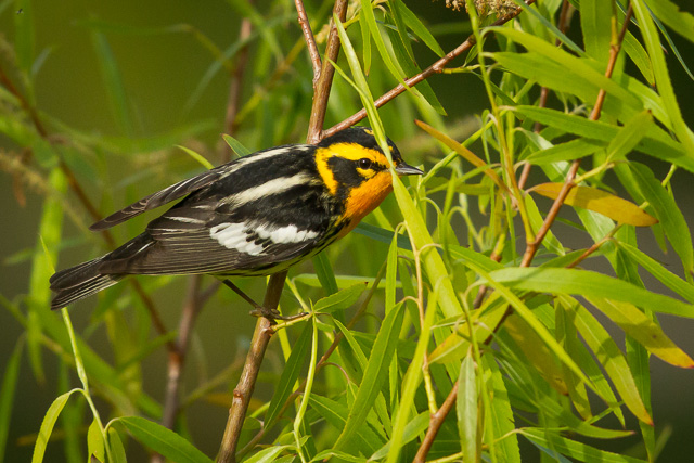 Blackburnian Warbler (obscured), Boy Scout Woods, High Island, Texas, Canon 7D with Canon EF 500mm, 1/3200s @ f/8, ISO 1600