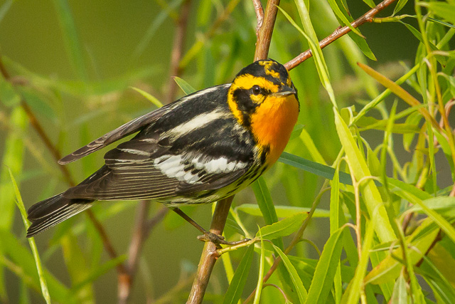 Blackburnian Warbler, Boy Scout Woods, High Island, Texas, Canon 7D with Canon EF 500mm, 1/5000s @ f/8, ISO 1600