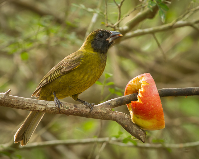 Crimson-collared Grosbeak, Sabal Palm Sanctuary, Texas, Canon 7D with Canon EF 500mm, 1/100s @ f/8, ISO 1600