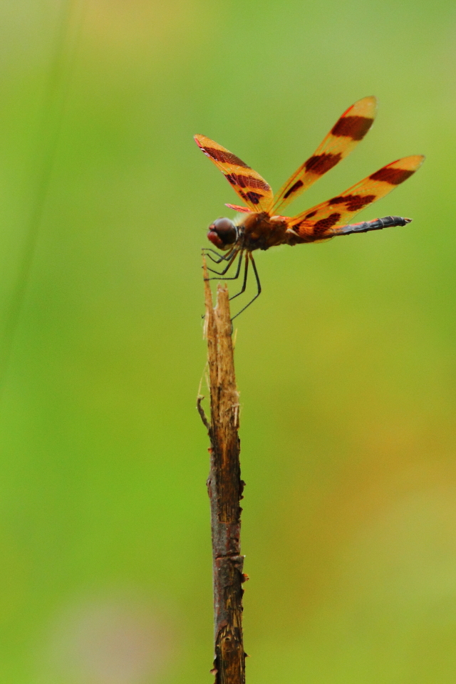 Halloween Pennant, Canon 7D with Canon 500mm, 1/500s, f/10, ISO 400