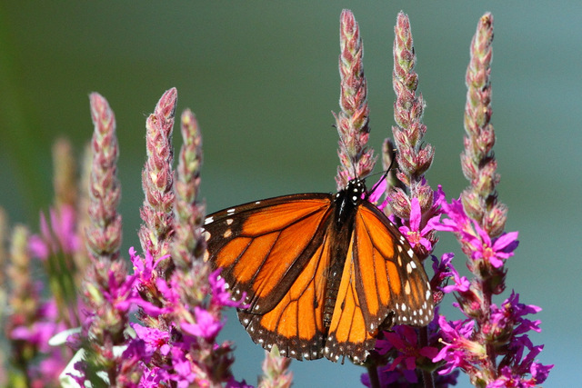 Monarch Butterfly, Canon 7D with Canon EF 500mm, 1/2500s @ f/8, ISO 1600