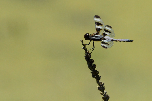 Twelve-Spotted Skimmer , Canon 7D with Canon EF 500mm, 1/4000s, f/8, ISO 800