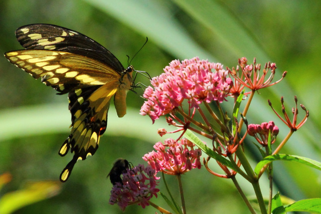 Giant Swallowtail on Swamp Milkweed, Canon 7D with Canon EF 500mm, 1/5000s, f/8, ISO 1600