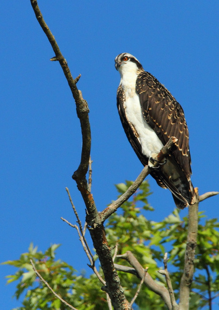 Osprey, Canon 7D with Canon EF 28-300mm @ 300mm, 1/3200s, f/8, ISO 800