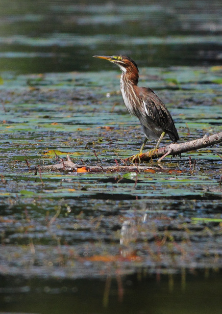 Green Heron, Canon 7D with Canon EF 500mm, 1/4000s @ f/8, ISO 800