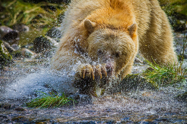 Kermode Bear, Canon 7D with Canon EF 500mm, 1/1000s @ f/8.0, ISO 800