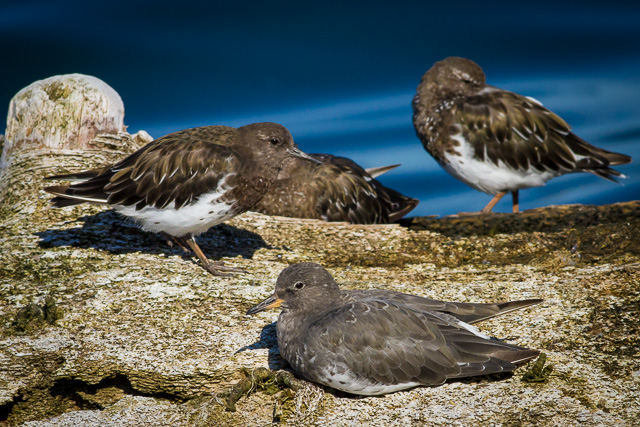 Black Turnstone & Surfbird, Shearwater, Canon 7D with Canon EF 500mm, 1/2500s @ f/8.0, ISO 400