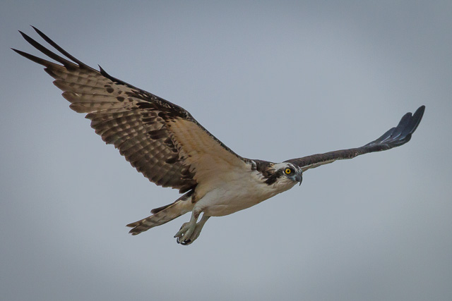 Osprey, Canon 7D with Canon EF 500mm, 1/6400s @ f/8.0, ISO 800