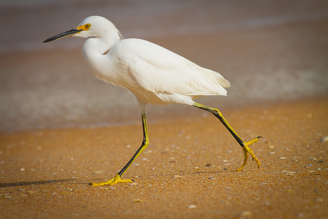 Snowy Egret, Canon 7D with Canon EF 500mm, 1/5000s @ f/8.0, ISO 800