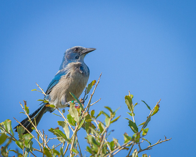 Florida Scrub-Jay, Canon 7D with Canon EF 500mm, 1/800s @ f/8.0, ISO 400