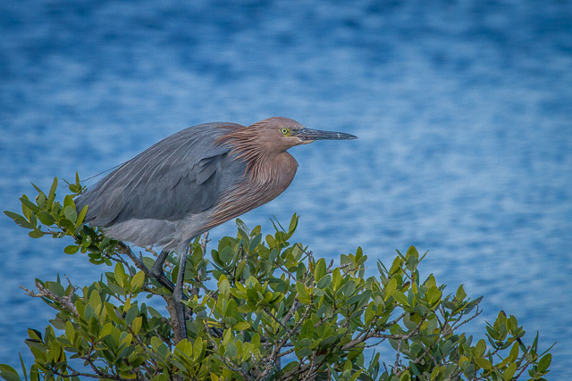Reddish Egret, Canon 7D with Canon EF 500mm, 1/2000s @ f/8.0, ISO 800