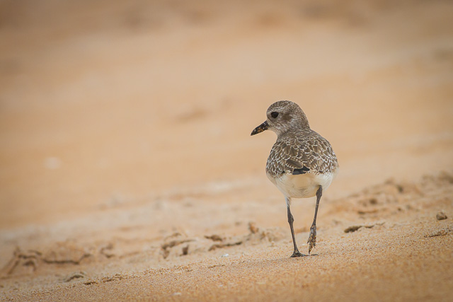 Black-bellied Plover, Canon 7D with Canon EF 500mm, 1/1250s @ f/8.0, ISO 800